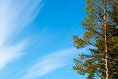 Pine tree  the blue sky background Stock Image