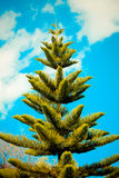 Pine tree with blue sky Royalty Free Stock Photo
