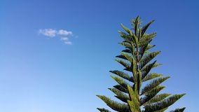 Pine tree on blue sky with clound. Background Stock Image