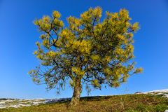 Pine tree blue sky Royalty Free Stock Image