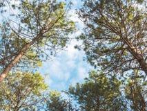 Pine tree and blue sky Stock Photos