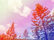 Pine tree and blue sky Royalty Free Stock Photography
