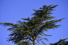 Pine tree and blue sky Stock Images