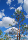 Pine tree, blue sky, white clouds Royalty Free Stock Photo