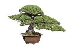 Pine tree bonsai Royalty Free Stock Photo