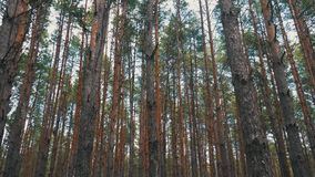 Pine tree with bough close up in forest stock video footage