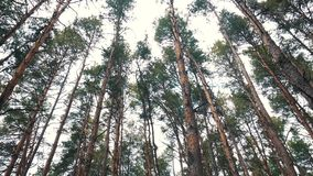 Pine tree with bough close up in forest stock footage
