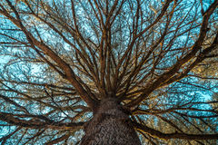 Pine tree brances seen from the ground Royalty Free Stock Photo
