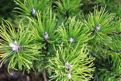 Pine tree. A branch of pine tree Stock Image