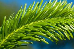 Pine tree branch Royalty Free Stock Image