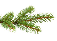 Pine tree branch Stock Photography