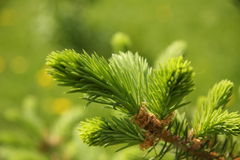 Pine tree branch. New growth on a pine tree branch stock photography