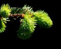 Pine tree branch Stock Image