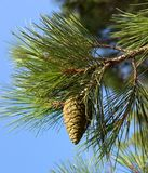 Pine-tree branch Stock Images