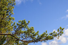 Pine tree branch. Green pine tree branch against a blue sky Stock Photography