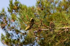 Pine-tree branch. Es on blue sky Royalty Free Stock Photos