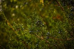 Pine tree branch Royalty Free Stock Photos