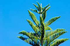 The Pine tree branch above blue clear sky background. Pine tree branch above blue clear sky background Stock Photography