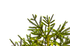 Pine tree branch above white background, Isolated Stock Image