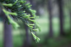 Pine Tree Branch Background. Pine trees with selective focus on one tree branch Stock Photo