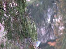 Pine tree branch with background of the forest. Pine tree texture with background of the forest during the late autumn rain stock video footage
