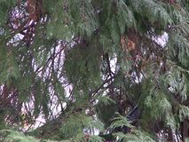Pine tree branch with background of the forest stock video