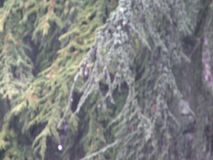 Pine tree branch with background of the forest stock footage