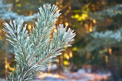 Pine tree branch with a background of sun-covered forest in winter. Royalty Free Stock Images
