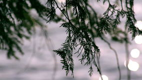 Pine tree branch blowing in the wind over a northern lake stock video footage