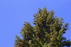 Pine tree branch on the blue background Royalty Free Stock Images
