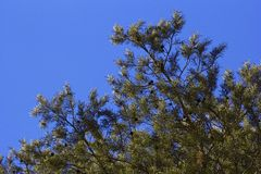 Pine tree branch on the blue background Royalty Free Stock Photos