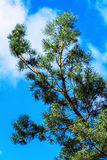 Pine tree branch on blue sky Stock Photography