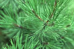 Pine Tree Branch Stock Photos