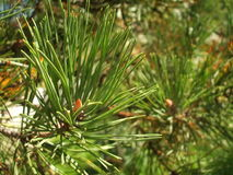 Pine tree Stock Images
