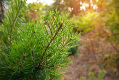 Pine tree branch close-up on defocused green background Stock Photos