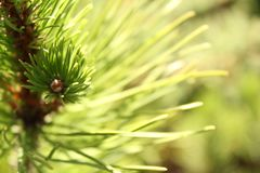 Pine tree branch close up with sun rays royalty free stock photo