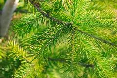 Pine tree branch closeup. Background stock image