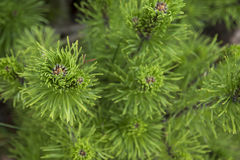Pine tree branch closeup. On green background Royalty Free Stock Photo