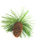 Pine Tree Branch And Cone. Closeup of a pine tree branch with three pine cones.  Isolated on white background Royalty Free Stock Images