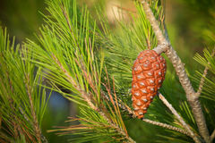 Pine tree branch with cone Stock Images