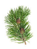 Pine tree branch with cone over white background Stock Image