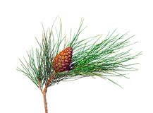 Pine Tree Branch And Cone Royalty Free Stock Photos