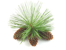 Pine Tree Branch And Cones. Closeup of a pine tree branch with three pine cones.  Isolated on white background Stock Photos