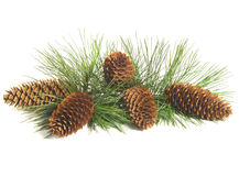 Pine Tree Branch And Cones. Closeup of a pine tree branch with five pine cones.  Isolated on white background Stock Images