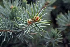 Pine tree branch with cones. Christmas stock photography