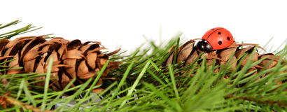 Pine tree branch with cones and ladybird Royalty Free Stock Photo