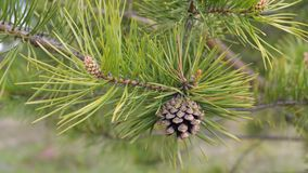 Pine tree branch with cones royalty free stock photos