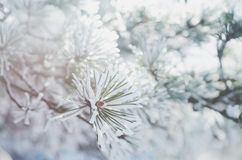 Pine tree twigs in snow, winter background Royalty Free Stock Photos