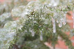 Pine tree branch covered in ice Stock Images