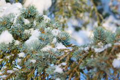 Pine tree branch covered by snow royalty free stock photos